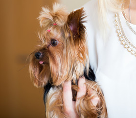woman caressing charming Yorkie terrier