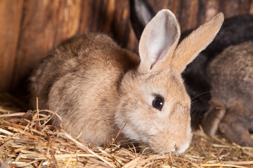 Rabbit  in the barn.