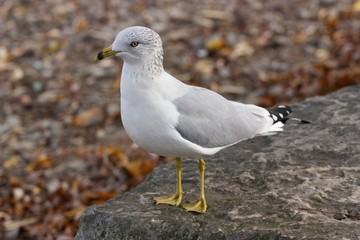 The funny curious ring-billed gull