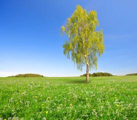 Birch tree on spring meadow.