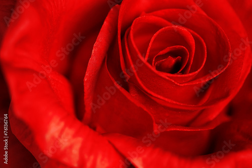 canvas print picture Close up of a red rose