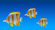 Butterfly fishes - 76137155