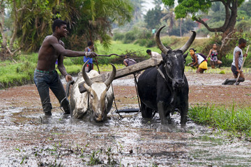 Malagasy farmers plowing agricultural field in traditional way w