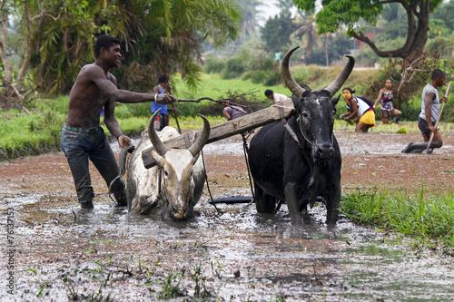 Leinwanddruck Bild Malagasy farmers plowing agricultural field in traditional way w