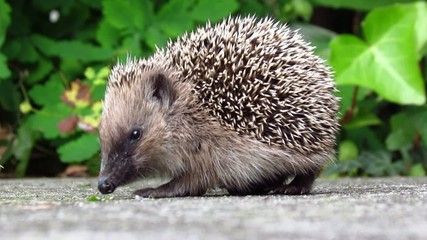 Hedgehog in the back yard