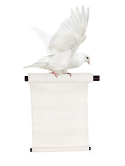 flying isolated white dove with scroll