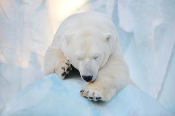 Белый медведь спит.