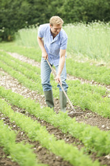 Farmer Working In Organic Farm Field Raking Carrots