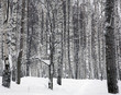Forest in the snow