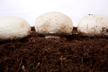 White mushrooms growing