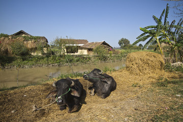 Domestic buffalos in traditional farm in Nepal