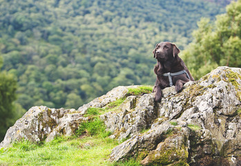 Chocolate Labrador in Countryside
