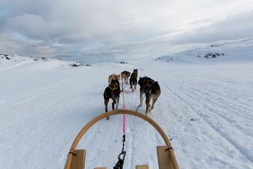 Husky dog sledding in action