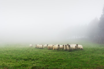 flock of sheep on foggy day