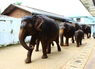 Слоны идут по улице с купания, Шри-Ланка