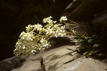 pianta perenne sassifraga meridionale saxifraga lingulata