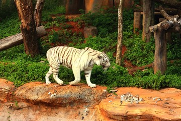 a tiger in a nature at the zoo