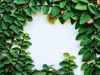 creeping fig on the white wall