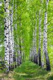 birch park in spring