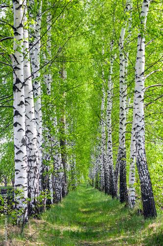 birch park in spring - 76164745