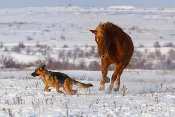 Dog and horse play in winter field