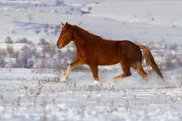 Beautiful horse trotting in winter snow