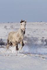 Beautiful horse run in winter snow field
