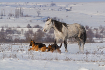 White horse run in snow field with two shepherd dogs