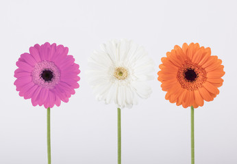 Beautiful Gerber daisies in studio