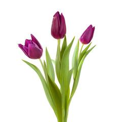 violet tulip purple