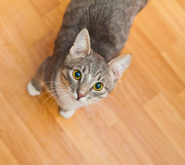 domestic short-haired young whiskered cat stand and looking