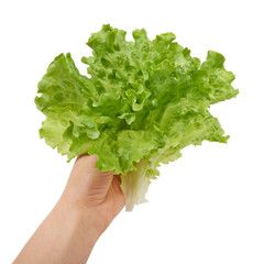 Fresh green lettuce salad in hand isolated on white background