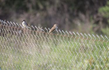 sparrows perched