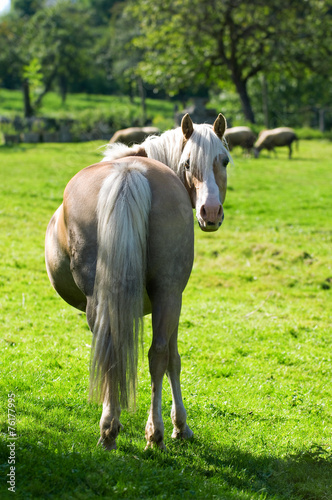 canvas print picture Haflinger