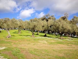 Paisaje de pradería con olivos