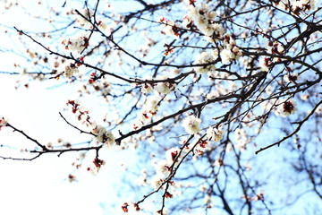 Blooming apricot tree twigs in spring close up