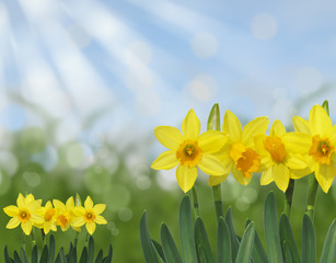 yellow spring daffodils green and blue abstract bokeh background
