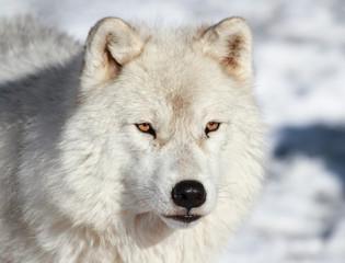 loup arctique en hiver