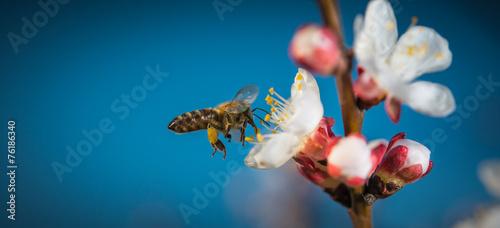 Foto op Canvas Bee Honey bee