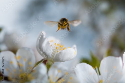 Foto op Canvas Bee Honey bee