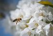 Obrazy na płótnie, fototapety, zdjęcia, fotoobrazy drukowane : Honey bee