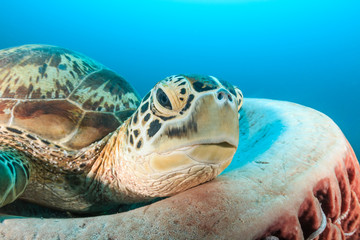 Green Turtle resting in a barrel sponge on a tropical coral reef