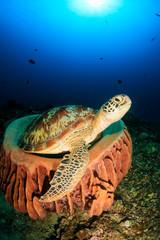Turtle in a sponge...Again