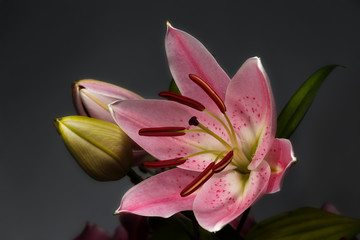 blossoming pink lily flowers