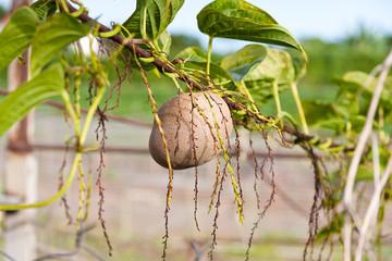 Hoffe, Dioscorera bulbifera,  pomme en l'air