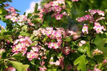 Цветущая ветка боярышника,crataegus