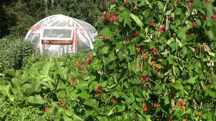 greenhouse hothouse in farm garden and blossoming beans plants