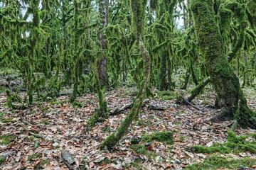 Boxwood forest, Sochi