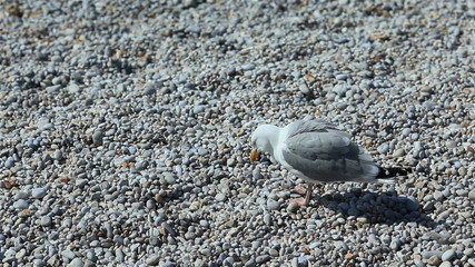 A gull stands on pebbles. Close-up