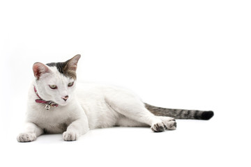 Cat looking on white background.